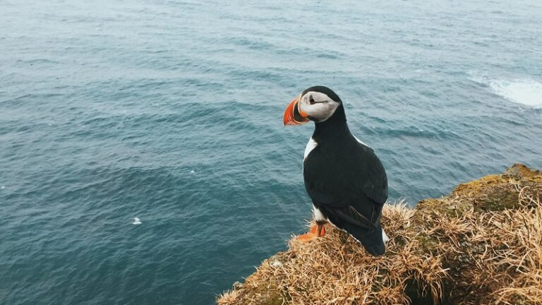 Nicholas Kampouris - Puffin on cliff top